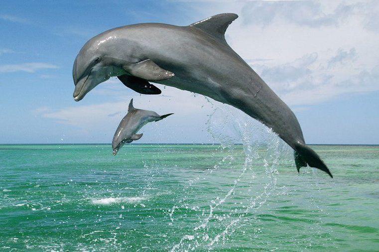 dolphin sql